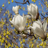 春です!!(ヒヨドリ)2019/03/20 - いろとりとり