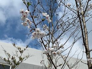 桜 - VEGAHOUSE BLOG