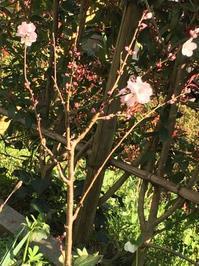アーモンドの花と白桃の蕾とその他 - いととはり
