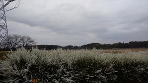 手賀沼の春景色あいにくの春曇りであったが、ユキヤナギの白が目にしみた -
