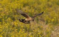 ハイイロチュウヒその3332(菜の花絡み⑧♀) - 私の鳥撮り散歩