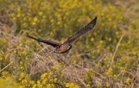 ハイイロチュウヒその34(菜の花絡み⑪♀) - 私の鳥撮り散歩
