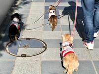 19年3月21日 桜開花宣言!&みんなでお散歩! - 旅行犬 さくら 桃子 あんず 日記