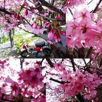福岡で桜開花 - EVOLUTION
