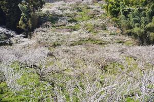 春爛漫の梅花の海へ @ おまけの一枚付き - 東大寺が大好き