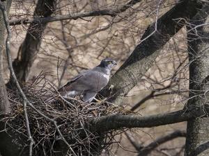 オオタカの営巣その1 - 日々カメラと共に