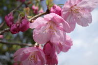 「春の巡回-山崎聖天(観音寺)-」 - ほぼ京都人の密やかな眺め