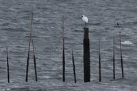 ★ちょっと速報クロツラヘラサギとツバメがいました - 葛西臨海公園・鳥類園Ⅱ