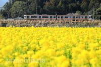菜の花畑 - みちはた写真館フォトギャラリー