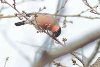 桜の芽を啄むアカウソ - 上州自然散策2