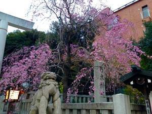 乃木神社 枝垂れ桜🌸 - ちわの酸いも甘いも・・・犬道 堅気道