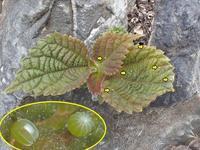 アカタテハの卵 - 秩父の蝶