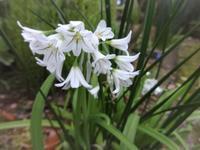 三角葱(ミツカドネギ) - だんご虫の花