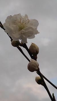 ハナモモ開花 - うちの庭の備忘録 green's garden