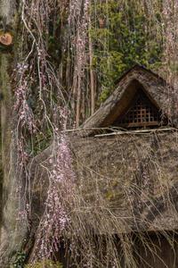 桜咲く、高麗の里 - デジカメ写真集