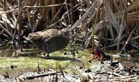 MFにてクイナを(ハサミは苦手?) - 私の鳥撮り散歩