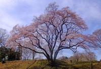 氏邦桜3月23日(土) - しんちゃんの七輪陶芸、12年の日常