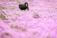 # コクチョウ、ホオジロ - Green+Pink