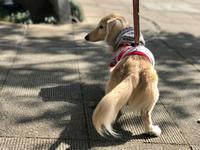 19年3月22日 桃あんバトル!&お散歩! - 旅行犬 さくら 桃子 あんず 日記