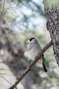 イカル - 趣味の野鳥撮影