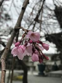 本覚寺の枝垂桜3分咲きです。 - パームツリー越しにgood morning        アロマであなたの今に寄り添うブログ