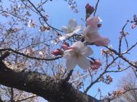 福岡にも開花宣言。 - highlife Times