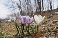 武蔵丘陵森林公園に咲くクロッカス - 四季彩の部屋Ⅱ