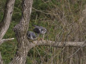 オオタカの営巣その2 - 日々カメラと共に