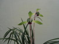 福岡市植物園蘭展 - DREAM GRASSES