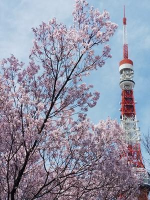 増上寺の桜と東京タワー - 藍。の着物であるこう