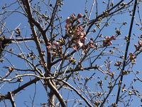 家の桜、開花宣言です! - わたしの好きな物