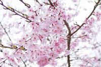 鎌倉のしだれ桜 - エーデルワイスPhoto