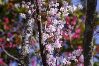東慶寺春 - 生きる。撮る。