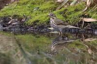 池の端で⑱ビンズイ - 気まぐれ野鳥写真