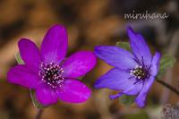 雪割草の仲間たち*箱根湿性花園 - MIRU'S PHOTO
