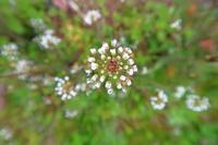 寒くても咲くペンペン草 - ~葡萄と田舎時間~ 西田葡萄園のブログ