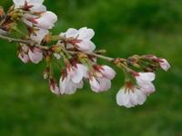 調布写真日記(2019/03/23-桜とツクシ2 - SEのための心理相談室