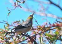 カラムクドリ(谷津干潟) - くまさんの二人で鳥撮り