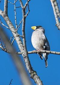 イカル(坂戸ビオトープ) - くまさんの二人で鳥撮り