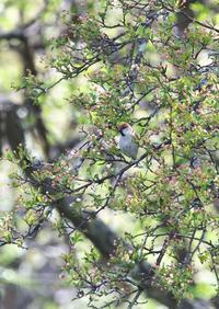 戦場ヶ原の鳥さん(ニュウナイスズメ、カッコウ、ノビタキ、ホウアカ、ゴジュウカラ、コサメビタキ、ウグイス) - くまさんの二人で鳥撮り
