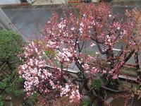 梅から桜の季節です。 - 活花生活(2)