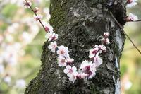 幹に咲く梅の花 - ぶらり散歩 ~四季折々フォト日記~