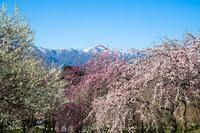 残雪の鈴鹿山脈に映える梅 - 感動模写Ⅱ