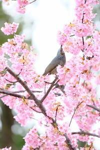 ヒヨドリさんと河津桜 - 平凡な日々の中で