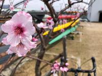 アーモンドの花 - 神戸ポタリング日記