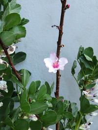 桃(大久保)の花が咲きました^^ - ぐりーんらいふ