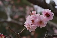 「梅は咲いたか桜は・・・-長岡天満宮Nagaoka Tenmangu Shrine -」 - ほぼ京都人の密やかな眺め Excite Blog版