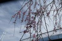 枝垂れ桜 - 絵を描きながら