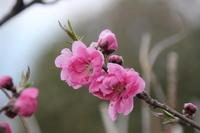 家の花たち (2019/3/21撮影) - toshiさんのお気楽ブログ