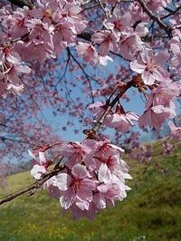 カワズ桜…?咲いてました♪そして、クラフトフェア - 井ノ中カワズの井戸端ばなし